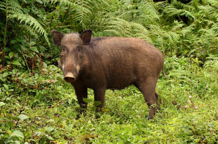 A silver swining: 'Destructive' pigs help build rainforests
