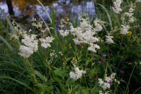 Älggräs, Filipendula ulmaria