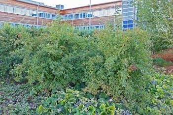 Orientalisk pimpinellros, Rosa spinosissima var. altaica