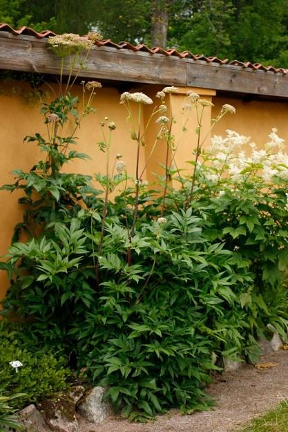 Fjällkvanne, Angelica archangelica ssp. archangelica, i blom