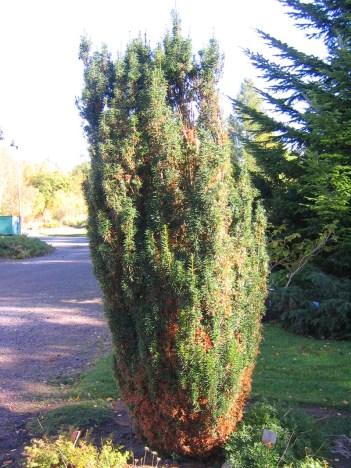 Idegran, Taxus baccata 'Melford' med frosttorka