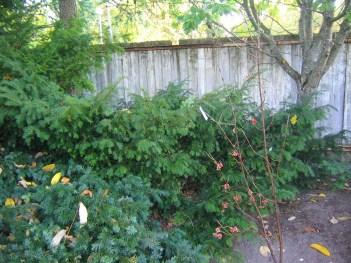 Idegran, Taxus baccata 'Nissens Corona'