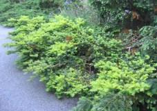 Gul krypidegran, Taxus baccata 'Summergold'
