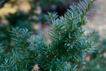 Japansk idegran, Taxus cuspidata