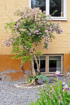 Beskuren och uppstammad paradisbuske.