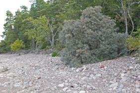 Vildväxande havtorn, Hippophae rhamnoides, Uppland