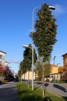 Pelarrönn, Sorbus aucuparia 'Fastigiata' på oxelstam