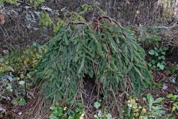 Hänggran, Picea abies 'Frohburg' höst