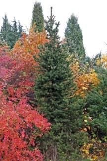 Pelargran, Picea abies 'Columnaris'