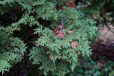 Thuja 'Aureospicata' höst