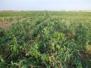 Grass mix cover crop in Pierre, SD. Photo by Michael Stephens of USDA-NRCS via Flickr.