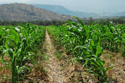 A no-till system with young corn plants growing in wheat residues. Photo by CIMMYT via Flickr.