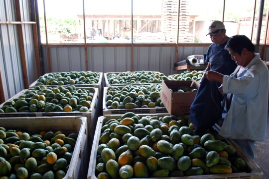 choosing-papayas