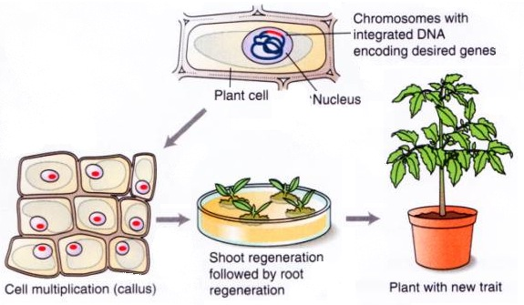 antibiotic resistance genes are used in plant transformation