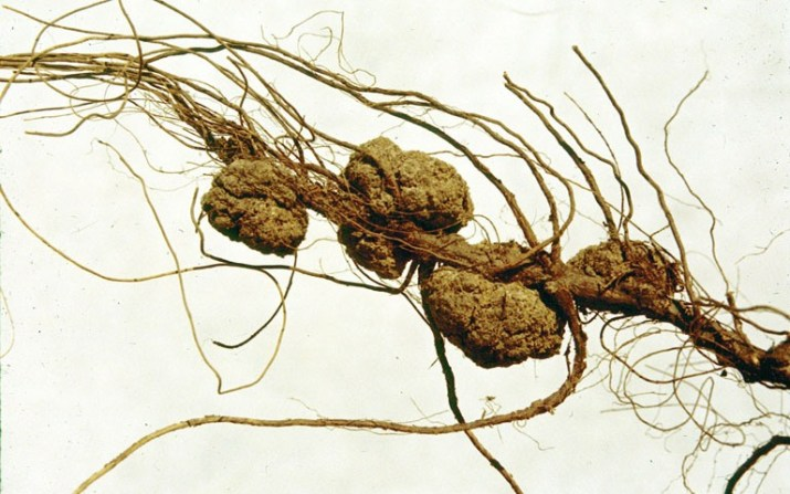 Agrobacterium creates natural GMOs