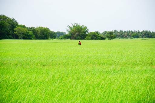 one worker in rice field
