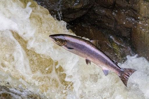 genetically engineered salmon
