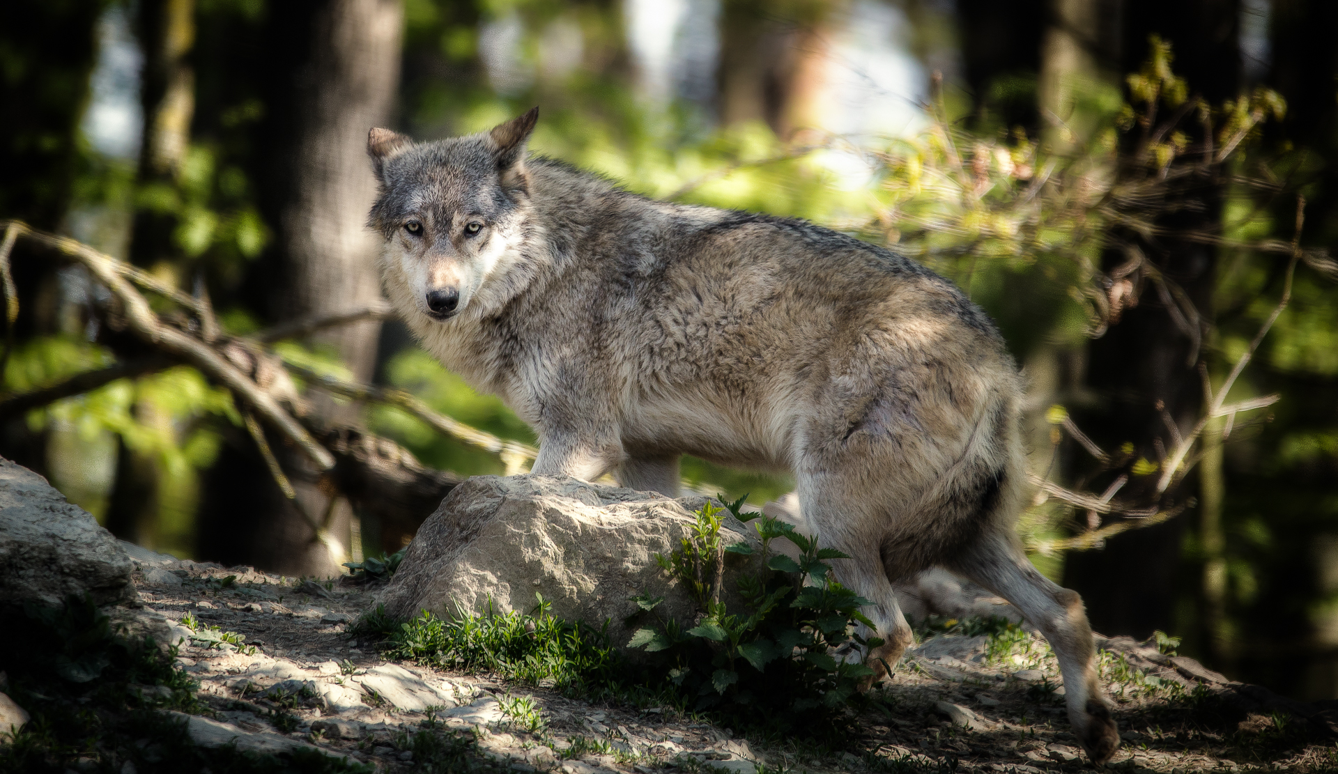 Help the Wolves