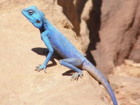 Sinai Agama   Image of the Day