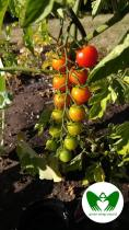 Colorful Tomatoes on the Vine | Green Wings Award