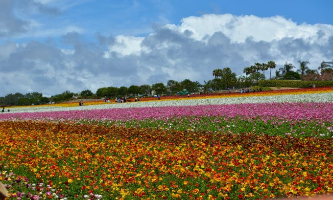 Carlsbad flower field