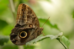 Fish Eye Snake Butterfly