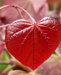 heart-shaped-leaf