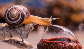 Snail Drinking Water Droplet