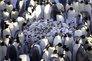 Penguins Huddling