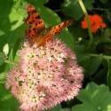 Fetthennenblüte mit Schmetterling (800x591)