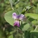 Blüte der Blauen Erbse von der Bergischen Arche