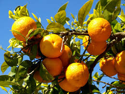 biogenetic sinasppel orange tree growth over ons