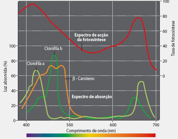 Pigmentos fotossintéticos e espectro de absorção luminosa  (2/2)