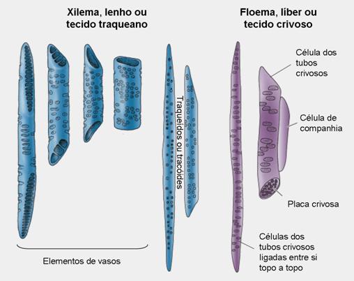 Sistema de transporte das plantas vasculares : o xilema e o floema
