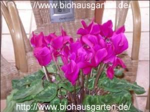 Zimmerpflanzen: Alpenveilchen