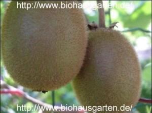 Kiwifrüchte