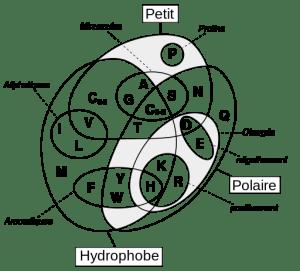 Diagramme de Venn des acides aminés (image dans le domaine public)