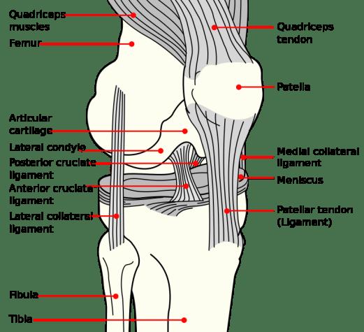 ACL and Meniscus Knee Diagram