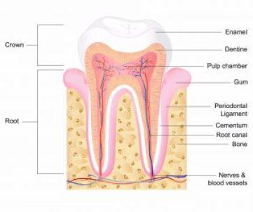 Dental Stem Cells - Anatomy