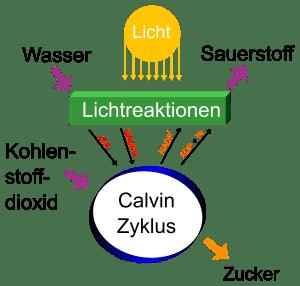 Photosynthese wandelt Wasser und Kohlenstoffdioxid in Sauerstoff und Zucker um.
