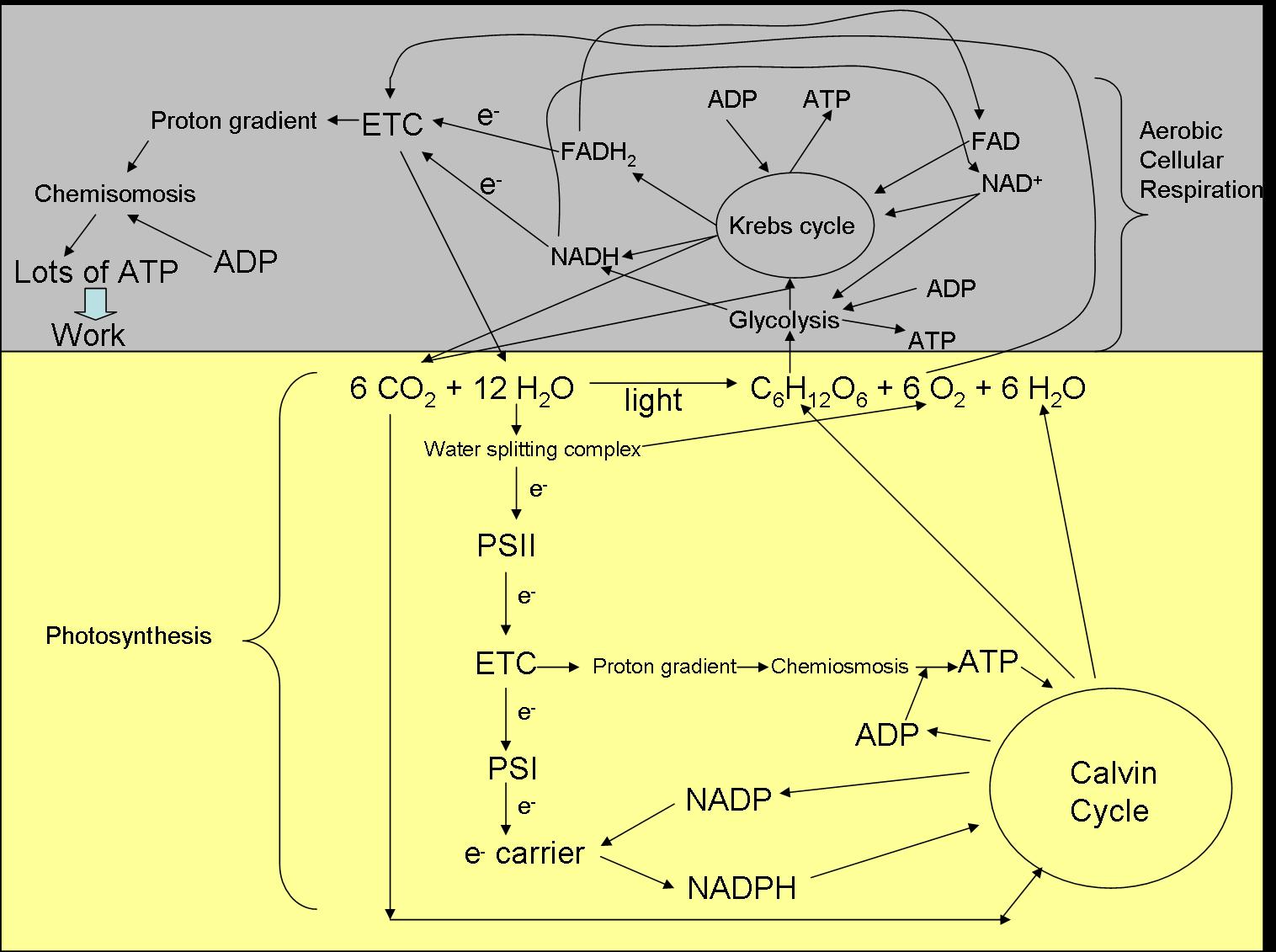 Cellular Respiration And Photosynthesis Diagram