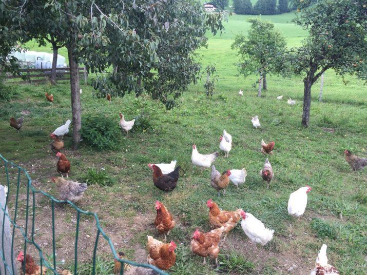Hühner im Grünauslauf. © Markus Danner