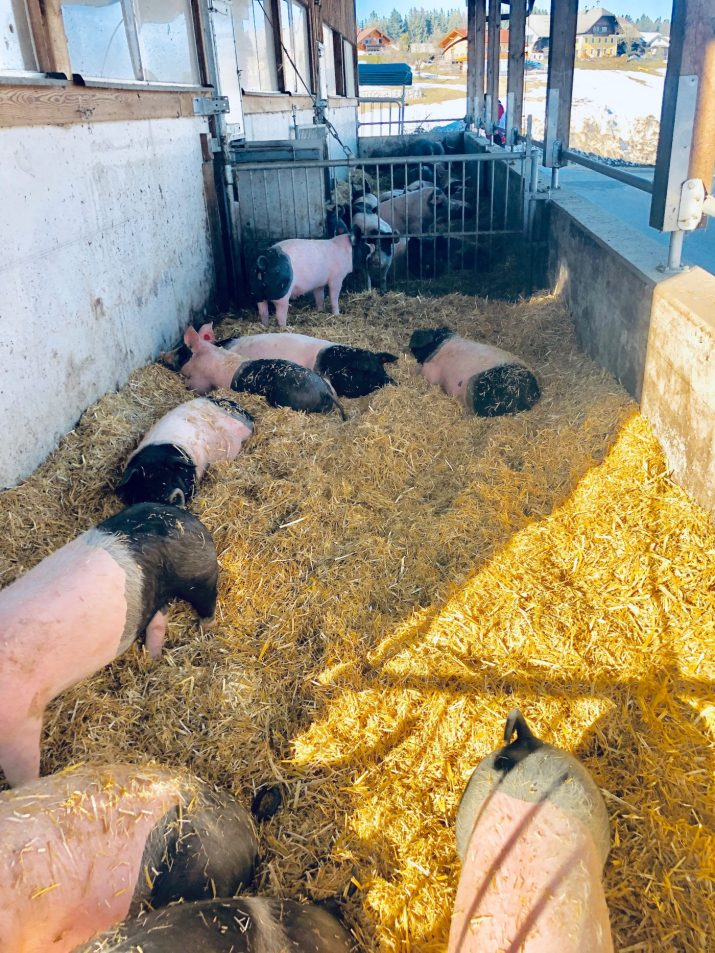 Mastschweine im Strohauslauf. © Markus Danner