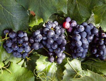 Weintraube reif © Markus Danner