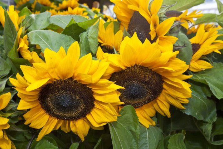 nickende Sonnenblumen © Bio Austria