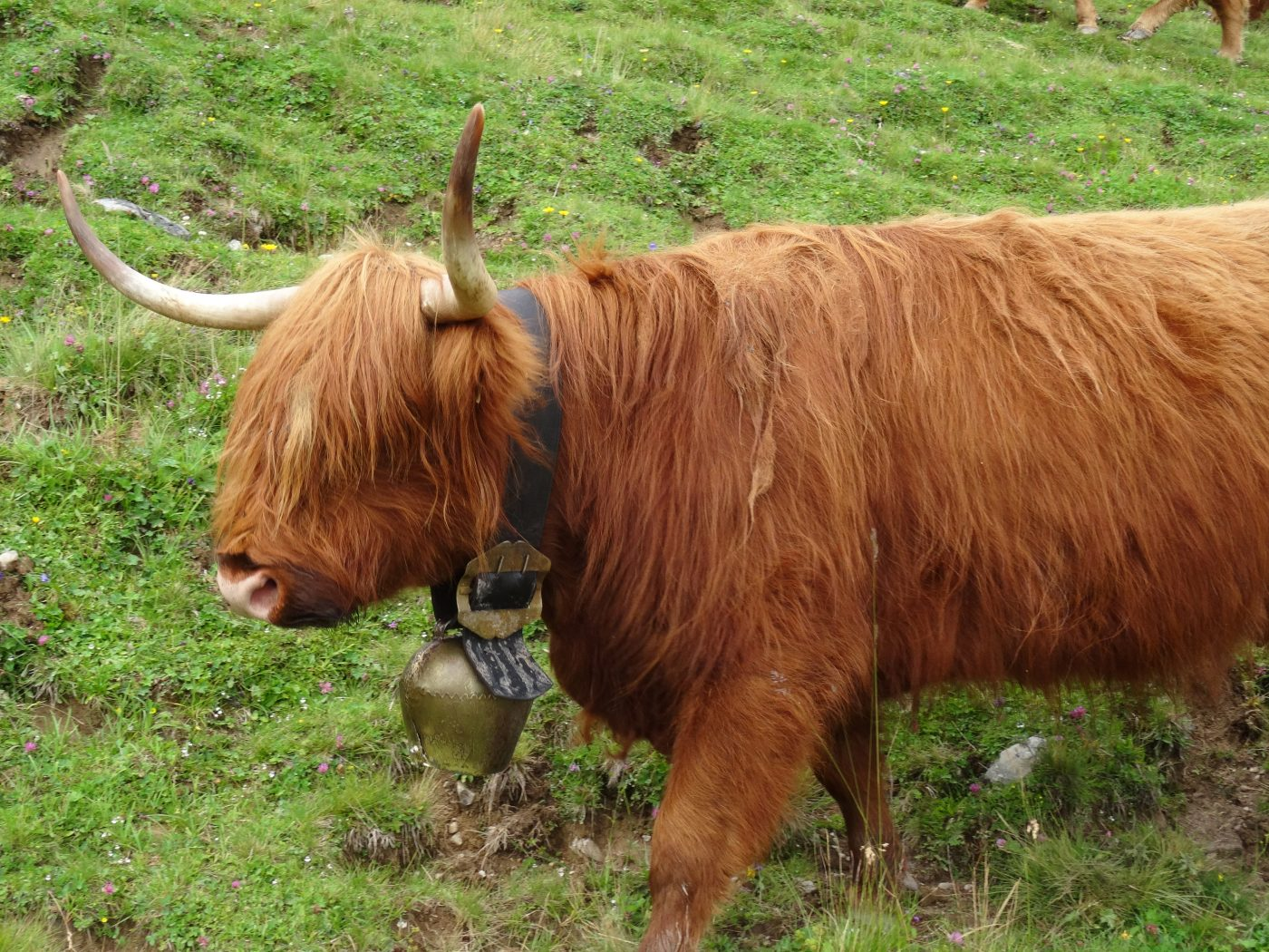 Schottisches Hochlandrind auf der Alm. © Promegger
