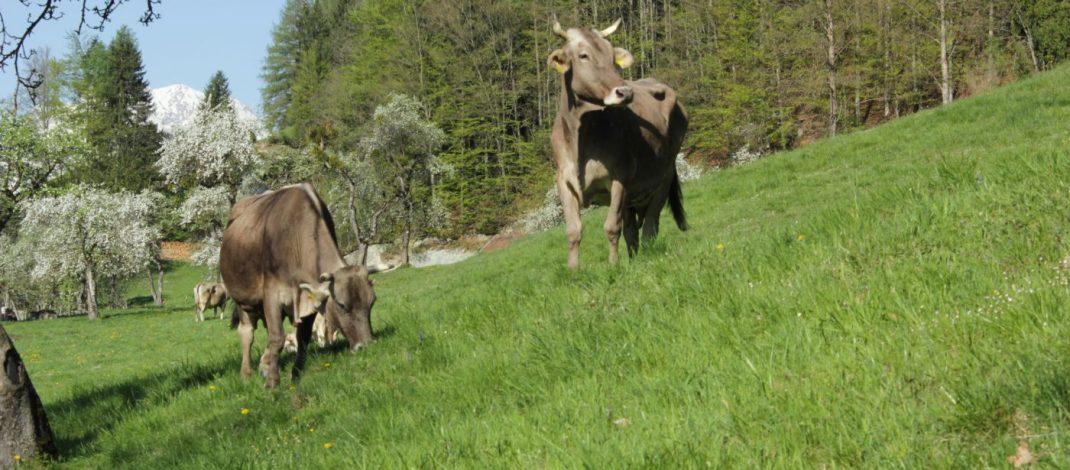 es gibt braune Kühe mit Hörnern © Edler