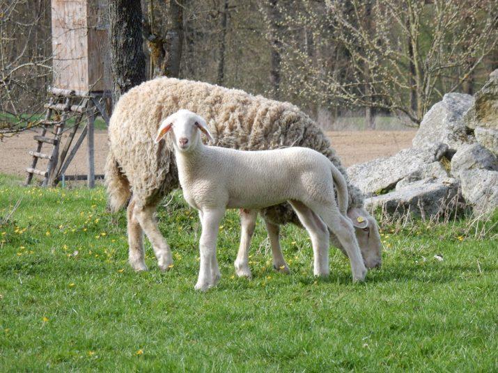 schönes Lamm mit Mutter auf der Weide © Bio Austria