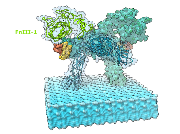 Insulin Receptor bound by Insulin