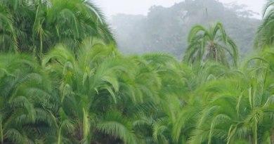 biodiversité tropicale : Phoenix reclinata